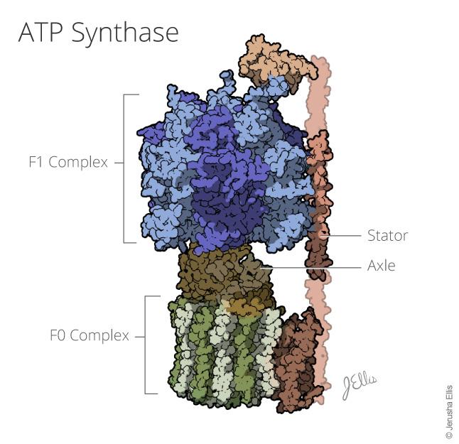 ATP Synpthase