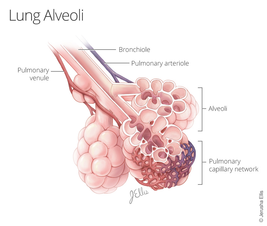 Lung Alveloi
